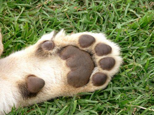 Lion Cub Pads