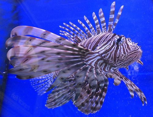 lion fish fish aquatic