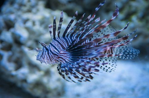 lion fish lionfish seaquest