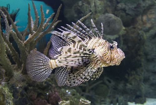 lion fish fish pterois