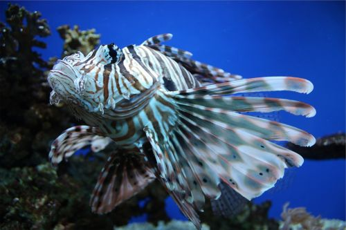 lion fish fish under water