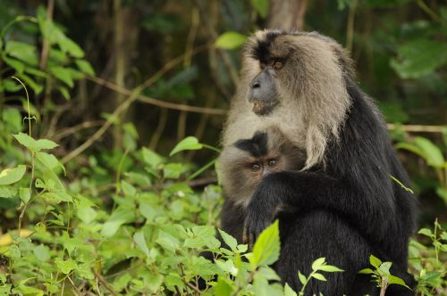 lion tailed macaque wild life natural