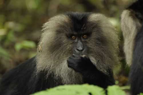 lion tailed macaque western ghats nature