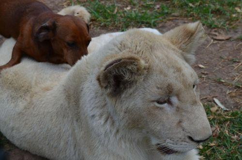 lion with dog lion dog