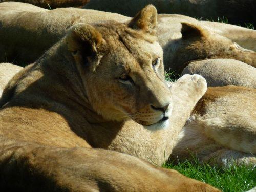 lioness longleat sun bathing