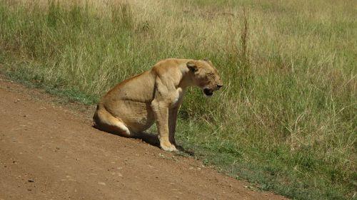 lioness africa masai mara