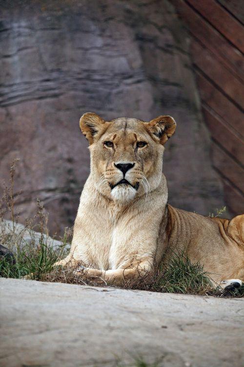 lioness big cat wildlife