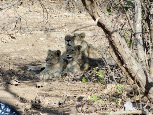 liūtas,cubs,Indijos liūtas,giras miškas,liūtas,gyvūnas,didelė katė,Indija