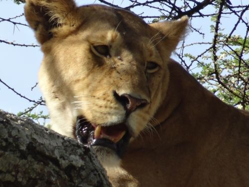lioness savannah animals