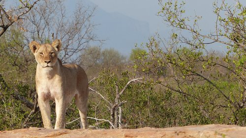 lioness  majestic  south africa