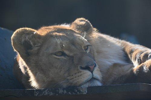 lioness  predator  africa