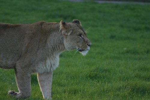 lioness  large  dangerous