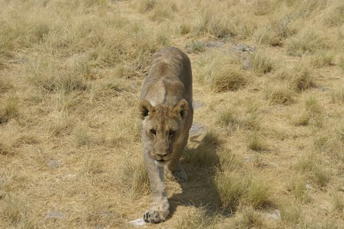 lioness frontal africa