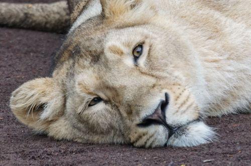 lioness rest carnivores