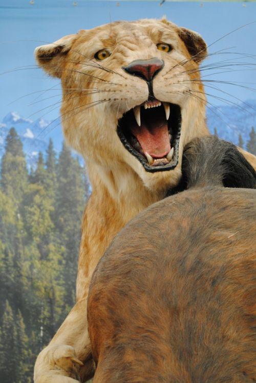 lioness beast hunting