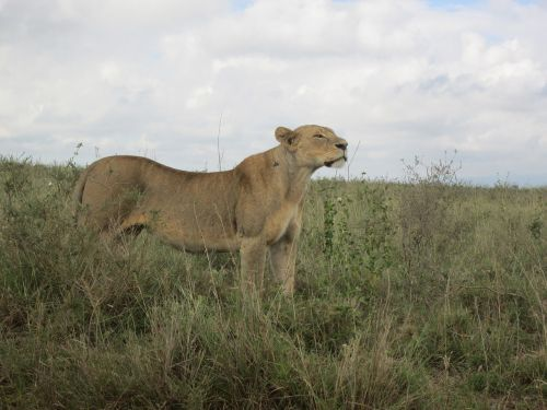 lioness in africa lion in kenya safari wildlife