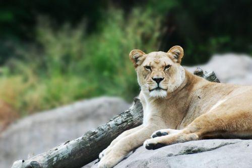 liūtas, liūtas, liūtas & nbsp, rokas, Liūtas & nbsp, poilsio, liūtojai & nbsp, roko, Liūtas ant uolos