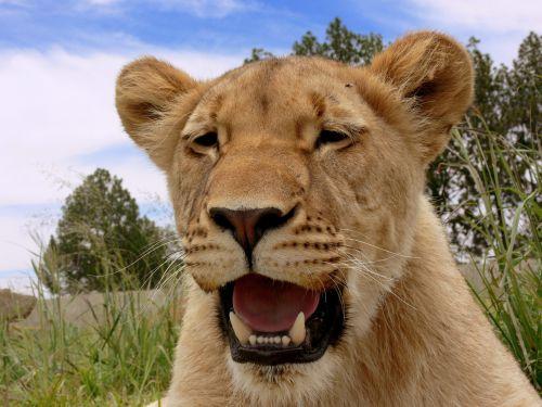 Lioness Panting