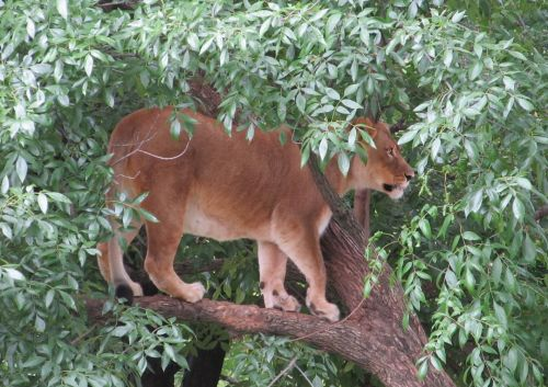 Lioness Up A Tree
