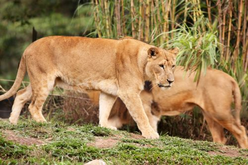 lionesses females animal