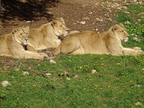lionesses savannah africa
