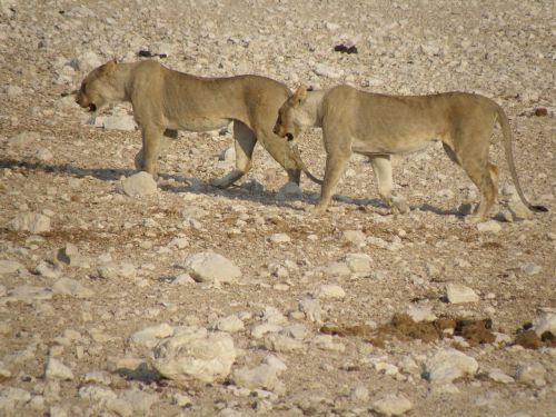 lionesses namibia park