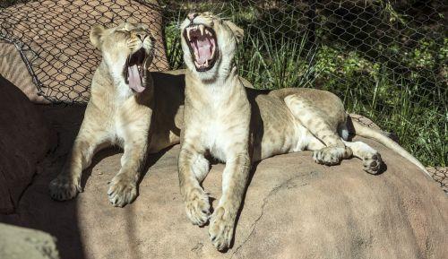 lionesses yawns resting