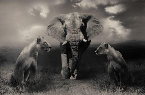 lionesses lion elephant