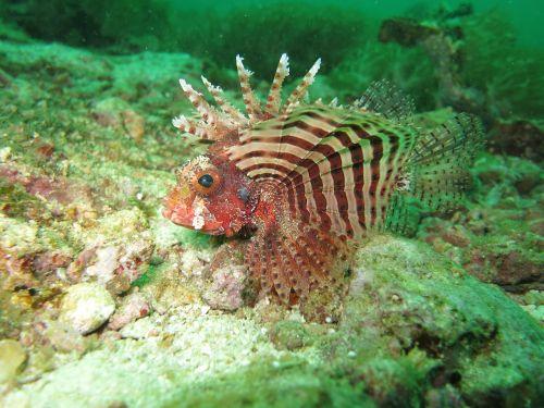 lionfish red lionfish fish