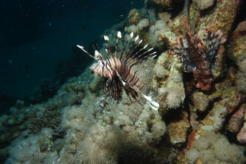lionfish red sea diving
