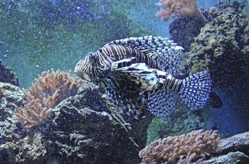 lionfish aquarium toxic