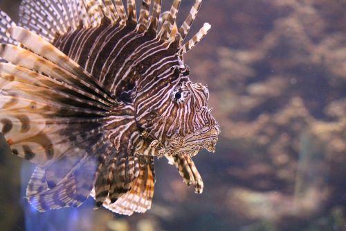 lionfish aquarium fish