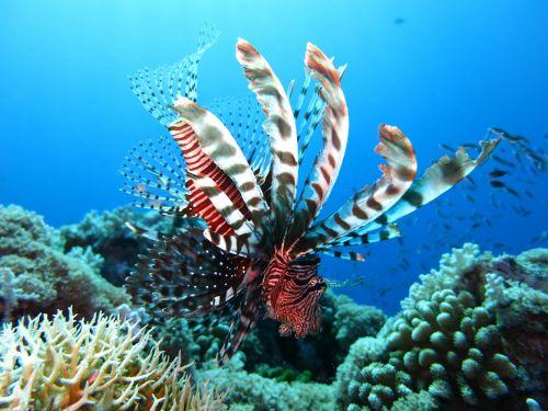 lionfish scuba diving underwater