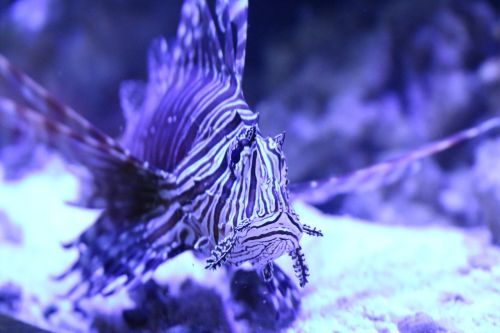lionfish lion fish fish