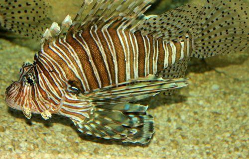 lionfish fish poisonous