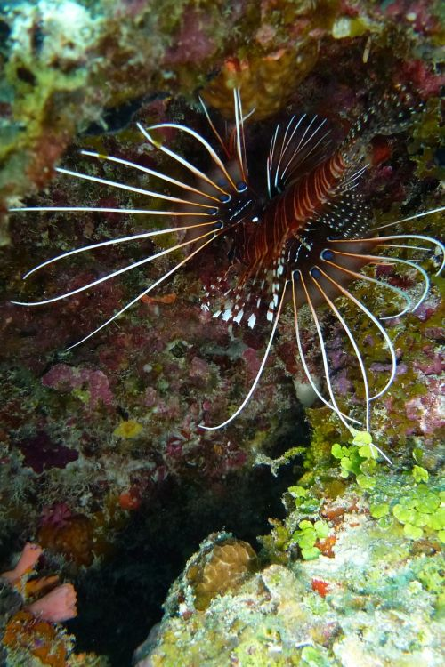 lionfish pacific rotfeuerfisch beautiful