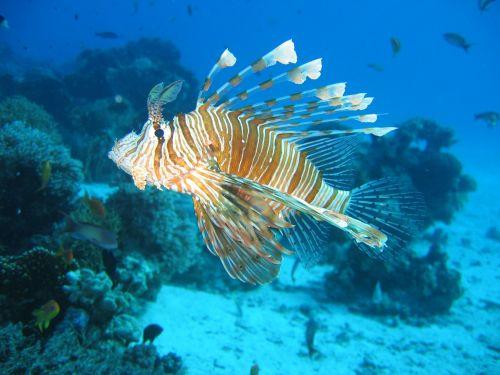 lionfish tropical venomous