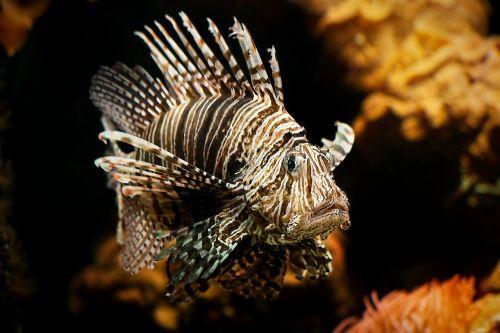 lionfish aquarium coral