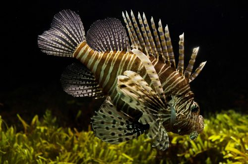 lionfish aquarium sealife