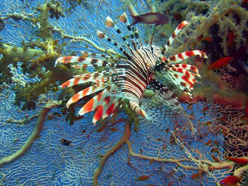 lionfish lion fish red fire fish