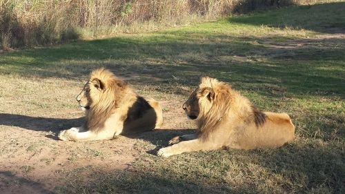 lions south africa wildlife