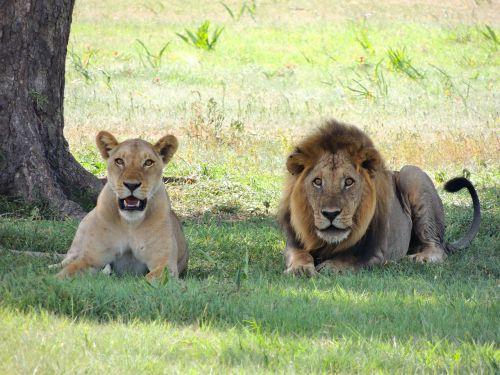 lions animal male