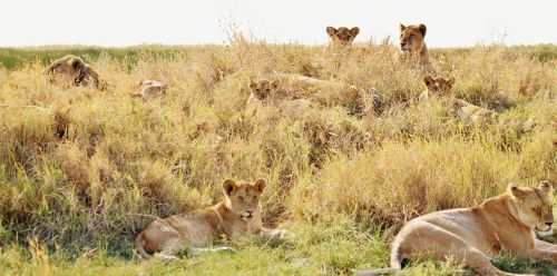 lions pride animal
