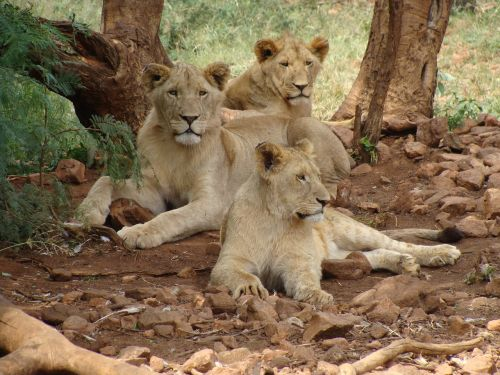 lions females predator