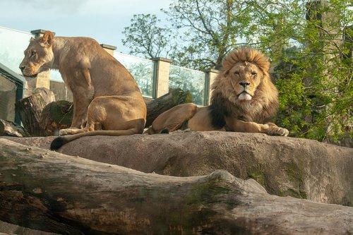 lions  lion  female