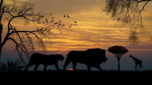 lions giraffe sunset