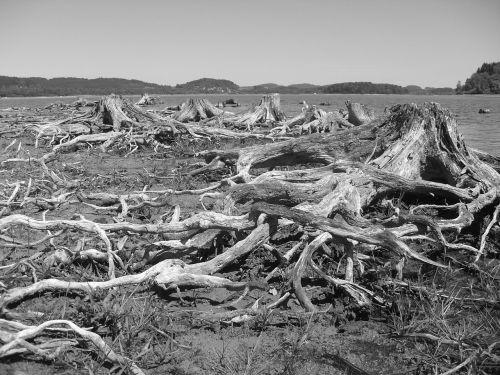 lipno lake stumps
