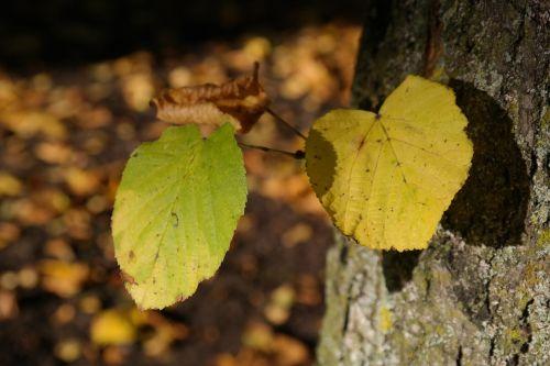 lipovina tribe foliation