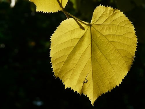 lipovina leaves yellow