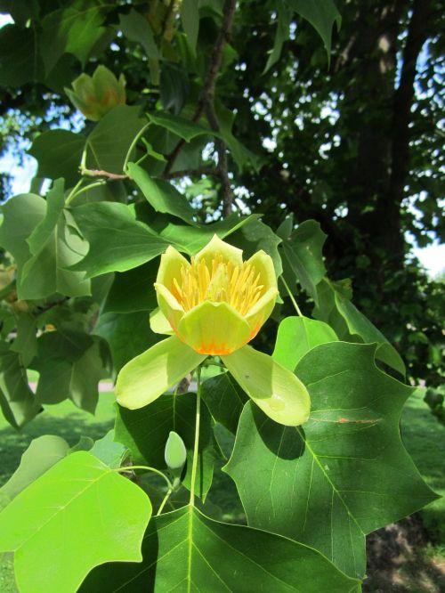 liriodendron tulipifera, tulpių medis, american tulip tree, tuliptree, tulpių paprikas, balta mediena, gudrybė, geltona tuopa, medis, flora, botanika, augalas, rūšis